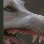 White Dog movie